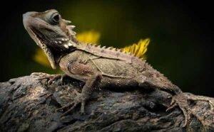 soñar con lagarto
